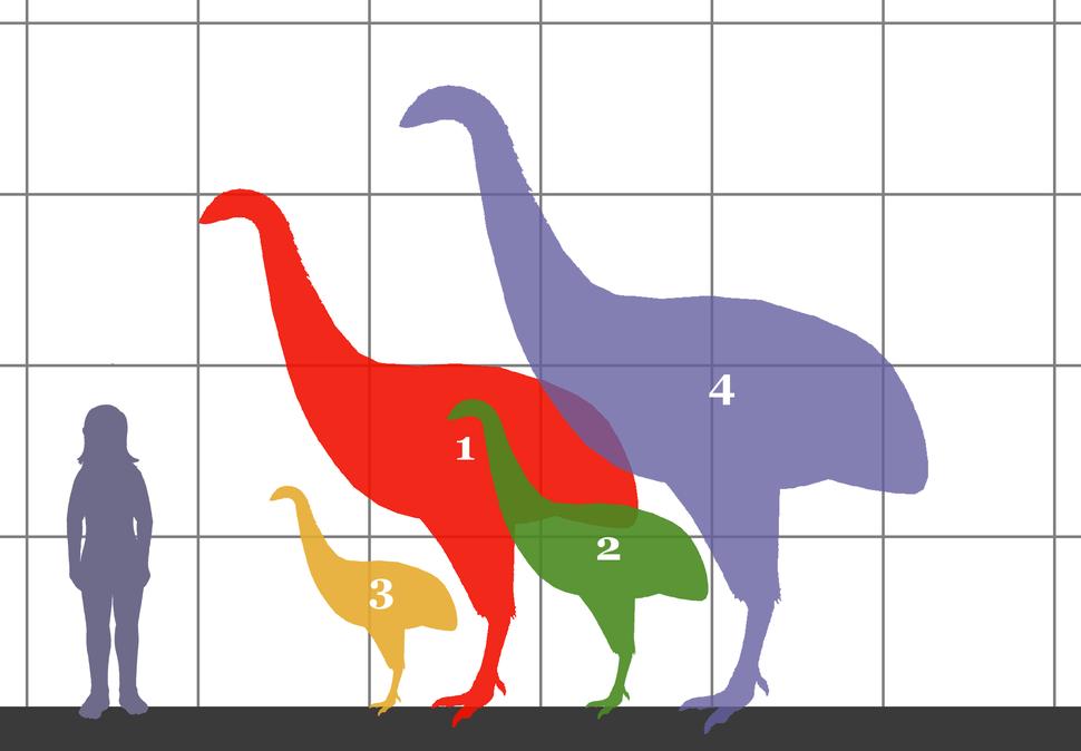 Dinornithidae SIZE 01