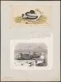 Diomedea brachyura - 1700-1880 - Print - Iconographia Zoologica - Special Collections University of Amsterdam - UBA01 IZ17900146.tif