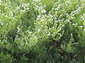 Diosma ericoides.jpg