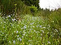 Ditch and Water Forget-Me-Knot - geograph.org.uk - 466024.jpg