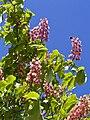 Divlji kesten cvijet 200408.jpg