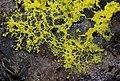 Dog Vomit Slime Mould, Fuligo septica (21681192106).jpg