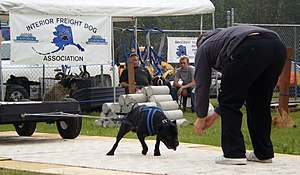 Weight pulling - A dog pulls a cart loaded with concrete weights as its owner coaxes him forward in a weight pulling event.