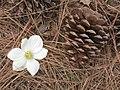 Dogwood and cone (17998241583).jpg