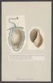 Dolium - Print - Iconographia Zoologica - Special Collections University of Amsterdam - UBAINV0274 005 01 0046.tif