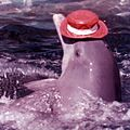 Dolphin wearing a hat at Aquarama (3248152812).jpg