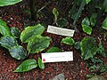 Dorstenia elata - University of California Botanical Garden - DSC08989.JPG