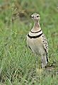 Double-banded courser (two-banded courser), Smutsornis africanus, at the Khama Rhino Sanctuary, Botswana (33531135730).jpg