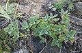 Dracocephalum pinnatum 25099068.jpg
