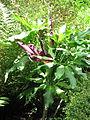 Dracunculus vulgaris (14338264130).jpg