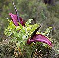 Dracunculus vulgaris LC0044-3.jpg