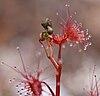 Drosera auriculata flower buds