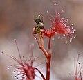 Drosera auriculata flower buds.jpg