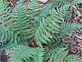Dryopteris marginalis 0zz.jpg