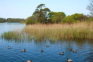 Lough Leane - Ducks on Lough Leane