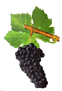 Durif Red wine grape