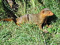Dwarf Mongoose Serengeti.jpg