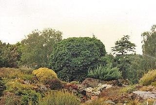 <i>Ulmus glabra</i> Nana Elm cultivar