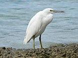 Eastern Reef Egret.jpg