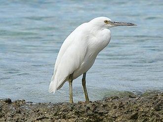 Pacific reef heron - Light morph