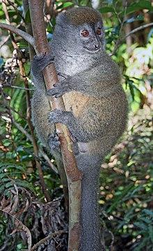 Eastern lesser bamboo lemur.jpg