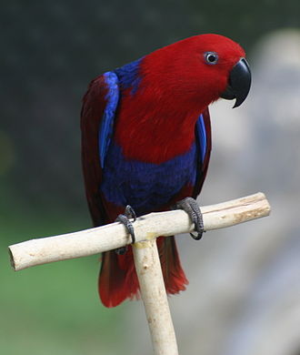 Eclectus parrot - Adult female at Rosamond Gifford Zoo, USA