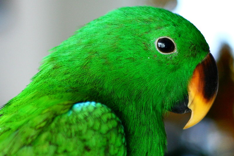 File:Eclectus roratus (male) -juvenile pet -head-8.jpg