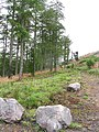Edlingham Crags Forest - geograph.org.uk - 429774.jpg