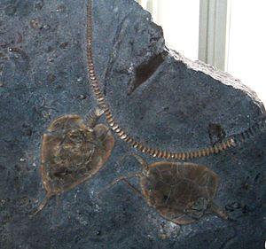Edrioasteroidea - Image: Edriophus pigsgi