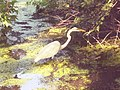 Egret in the Pool in Central Park 5.jpg
