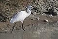 Egretta garzetta - Little Egret, Mersin 2016-11-19 01-1.jpg