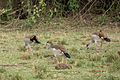 Egyptian geese - Queen Elizabeth National Park, Uganda (2).jpg