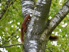 Eichhörnchen spielt Verstecken.jpg