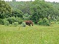 Elephant (Loxodonta africana) (6045601279).jpg