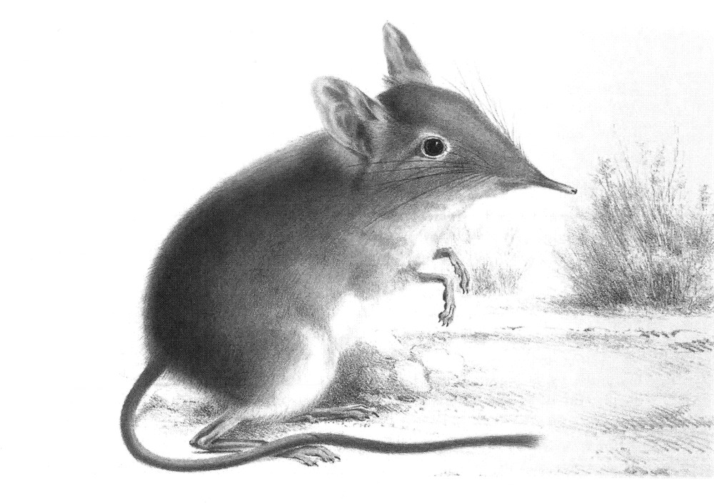 The average litter size of a Cape elephant shrew is 1