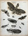 Eleven insects of the order Hemiptera including aphids and c Wellcome V0020562EL.jpg