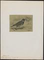Emberiza lapponica - 1700-1880 - Print - Iconographia Zoologica - Special Collections University of Amsterdam - UBA01 IZ16100299.tif