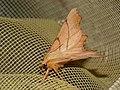 Ennomos erosaria - September thorn - Угловатая пяденица берёзовая (26052197457).jpg