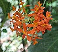 Epidendrum ibaguense (14788011271).jpg