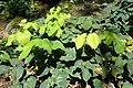 Epimedium pinnatum subsp colchicum kz1.jpg
