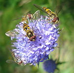 Episyrphus balteatus on blue flower.jpg