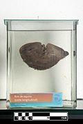 Equine kidney (longitudinal cut)- FMVZ USP-20.jpg