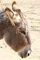 Equus asinus 20110813 2.jpg