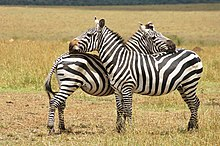 A pair of Plains zebra facing each other and rubbing heads on the others body