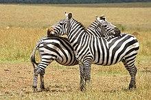 Un par de cebras de las llanuras uno frente al otro y frotando cabezas en el cuerpo de los demás