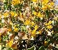 Ericameria cuneata var spathulata 2.jpg