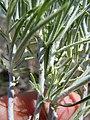Ericameria nauseosa or Chrysothamnus nauseosus (5453480367).jpg