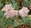 Eriogonum arborescens 3.jpg