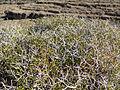 Eriogonum heermannii var sulcatum 14.jpg