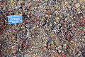 Eriogonum ursinum - Regional Parks Botanic Garden, Berkeley, CA - DSC04482.JPG